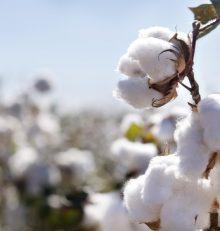Qu'est-ce que le coton biologique?